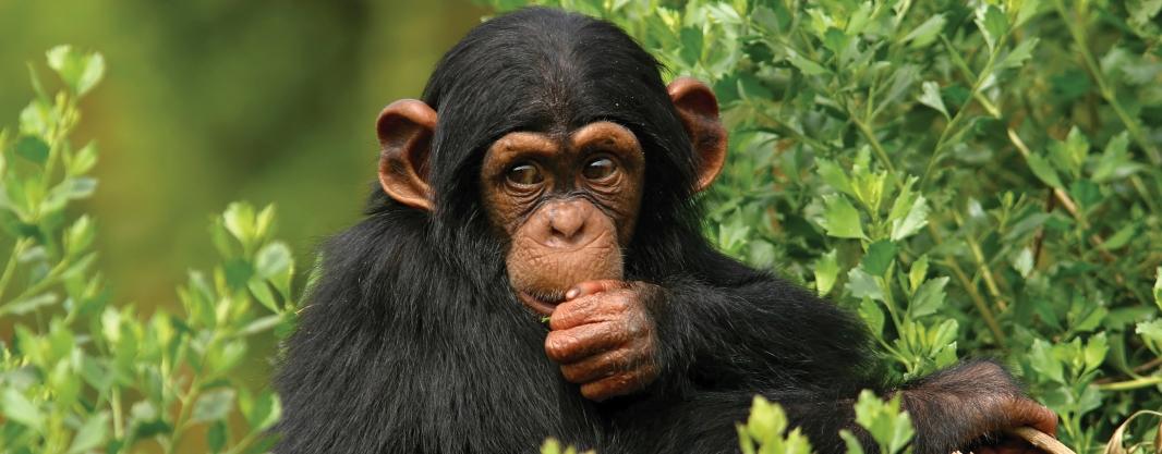 Afbeeldingsresultaat voor rwanda chimpansee